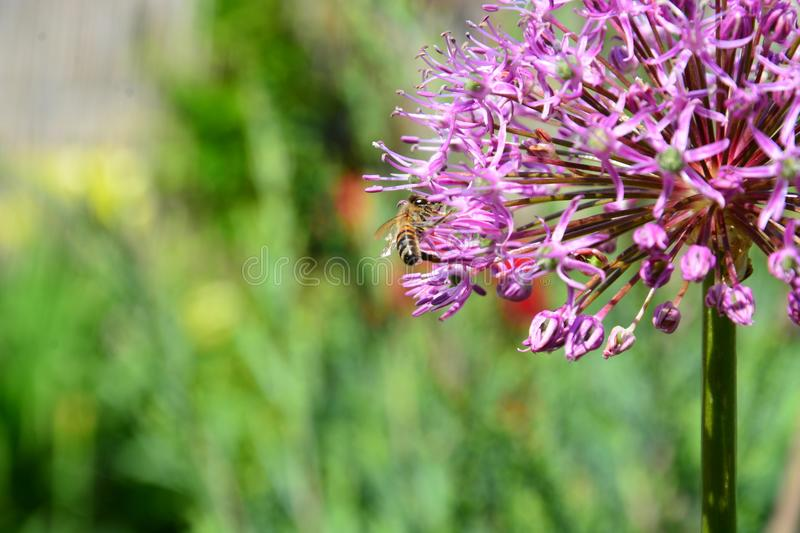 Lilac flower on which the bee sits stock images