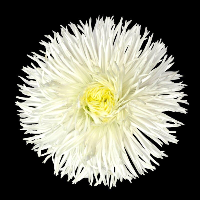center isolerad vit yellow för tusensköna blomma fotografering för bildbyråer