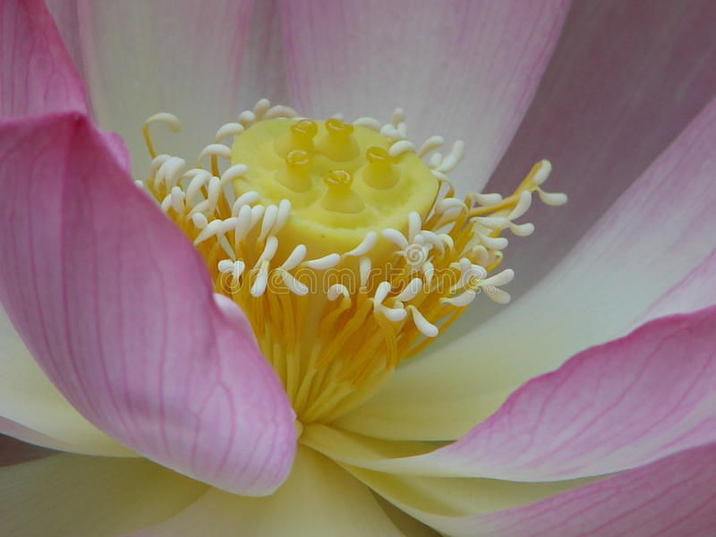 The Center of a Lotus Flower stock photos