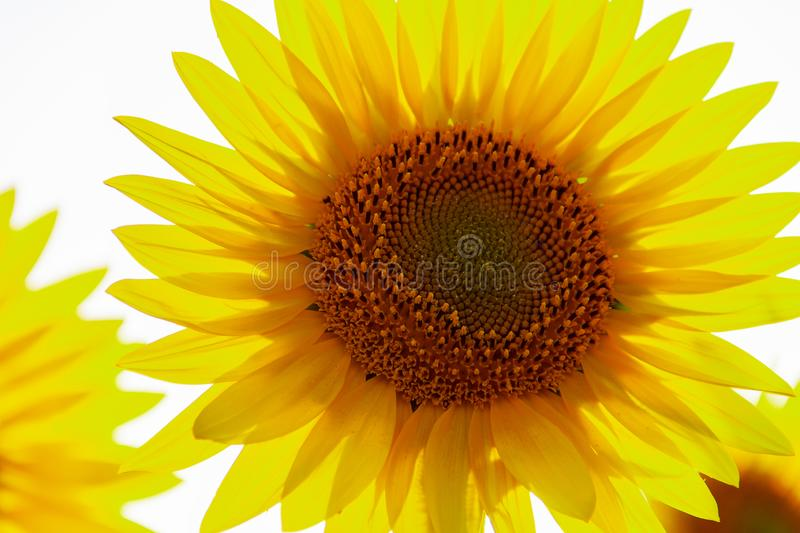 The center of Sunflower with petals in sunshine, close up. Sunflower natural background. Sunflower blooming. Close-up of sunflower. Agriculture field, yellow royalty free stock images