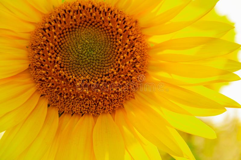 The center of Sunflower with petals in sunshine, close up. Summer background, blossom, floral, natural, nature, yellow, beautiful, beauty, circle, garden stock photography