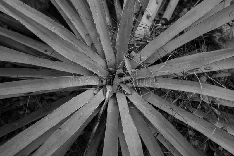 Black and White Yucca Center stock image