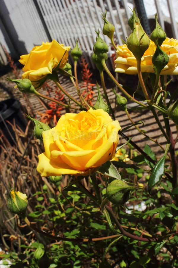 A centered yellow miniature rose blossom surrounded by buds and other yellow roses. stock photos
