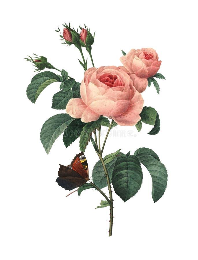 Centifolia της Rosa   Απεικονίσεις λουλουδιών Redoute απεικόνιση αποθεμάτων