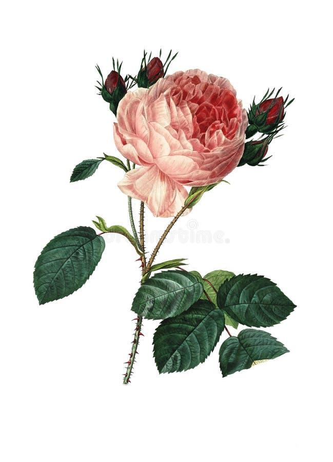 Centifolia της Rosa   Παλαιές απεικονίσεις λουλουδιών ελεύθερη απεικόνιση δικαιώματος