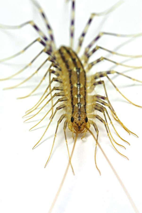 Centipède de Chambre (coleoptrata de Scutigera) image stock