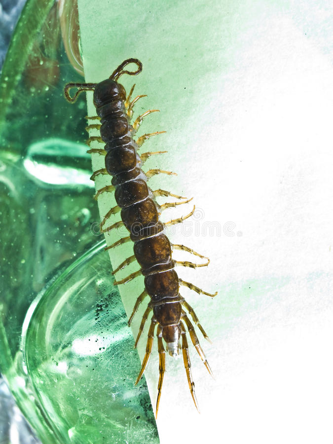 Download Centipede stock image. Image of crawl, frightening, invertebrate - 11088725