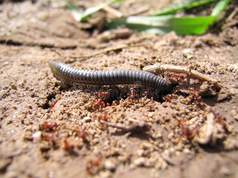 centipede fotografering för bildbyråer