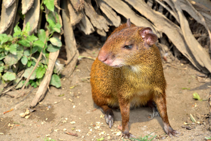 Central American agouti stock images