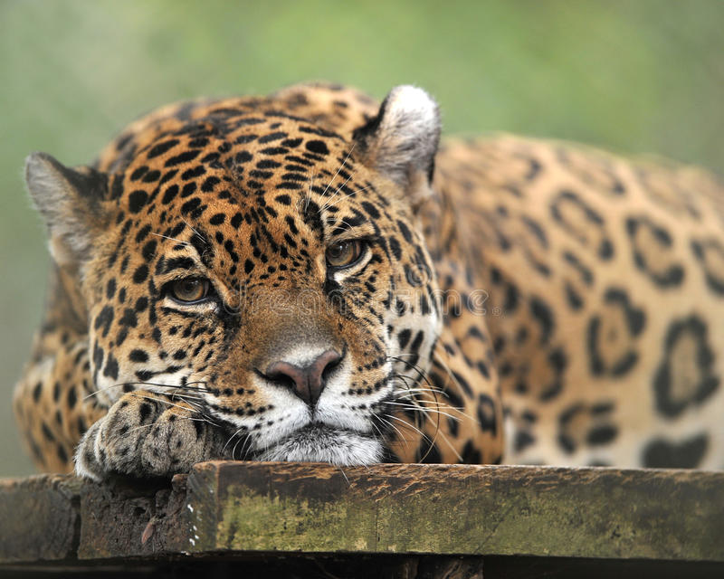 Central american jaguar laying down bored