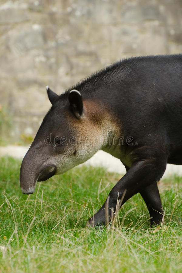 Download Central American Tapir stock photo. Image of grass, nose - 26877114