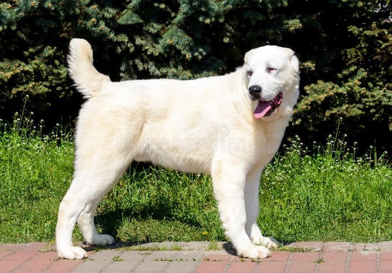 Central Asian Shepherd Dog looks right. royalty free stock photo