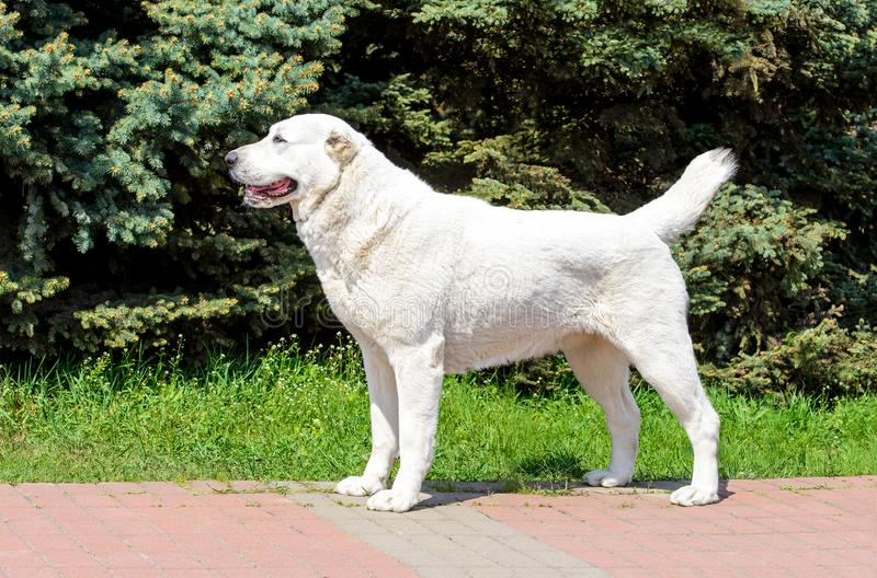 Central Asian Shepherd Dog stands in profile. stock photo