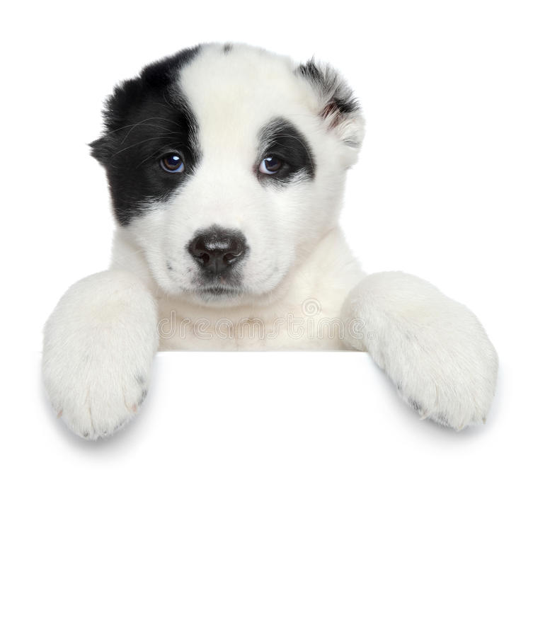 Central asian shepherd puppy on white banner stock image