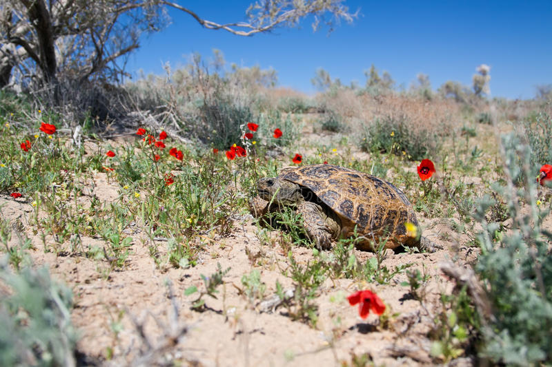 Central Asian tortoise among poppies. Central Asian tortoise (Agrionemys horsfieldii) in desert area, the Southern Kazakhstan stock photo