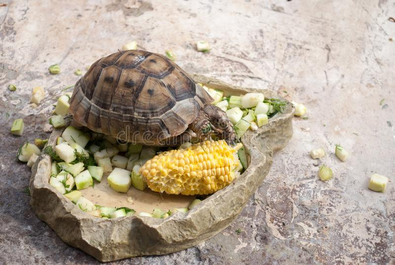 Central Asian turtle alone eats vegetables on a stone.  royalty free stock photos
