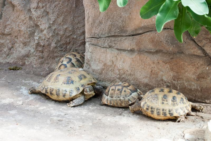 Central Asian turtles in a row. Family of turtles on stones.  stock photography
