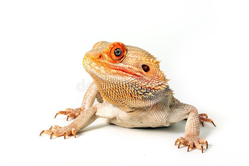 Central bearded dragon. Portrait of central or inland bearded sandfire cross dragon, isolated on white background stock photo