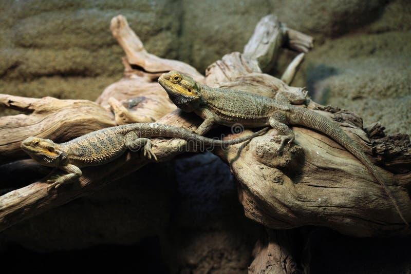Central bearded dragon (Pogona vitticeps). royalty free stock images