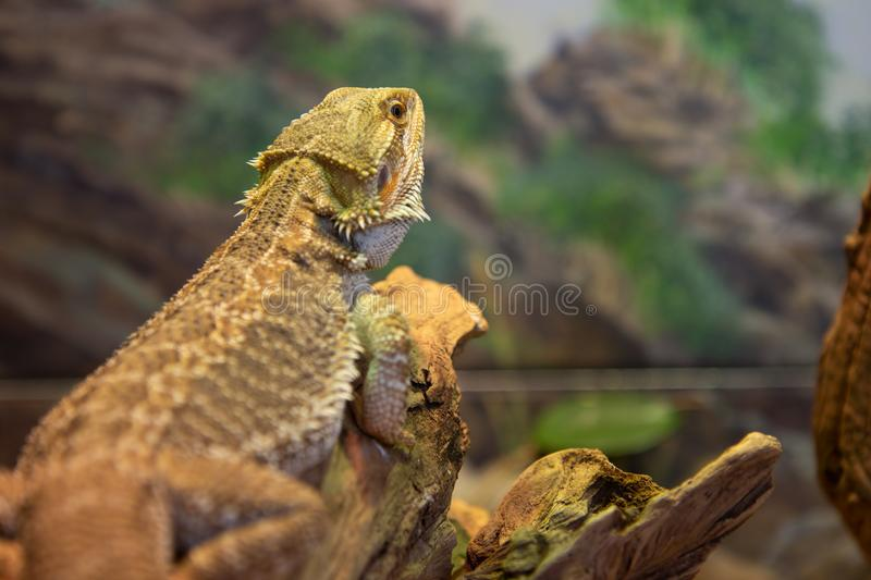 Central Breaded Dragon Reptile Lizard Resting on Tree Branch royalty free stock photography