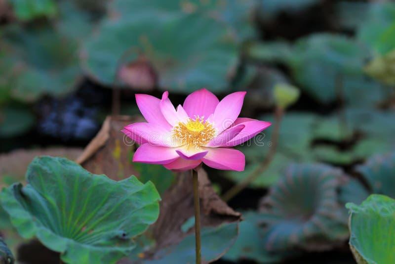 Central cor-de-rosa da lagoa de lótus imagens de stock royalty free