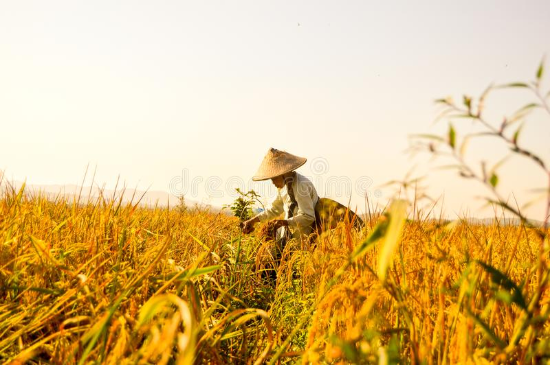 Indonesian senior farmer at rice fields stock images