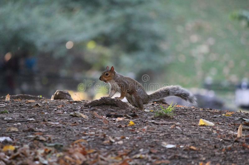 Central Park chipmunk royalty free stock image