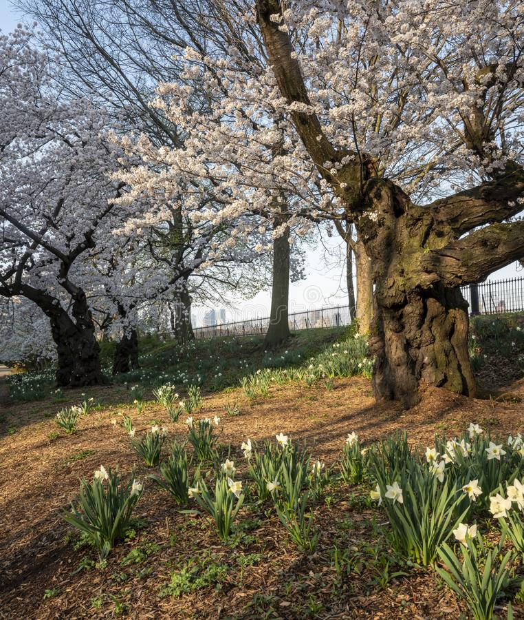 Central Park in spring crab apple trees stock images