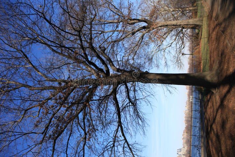 Central Park tree royalty free stock photo