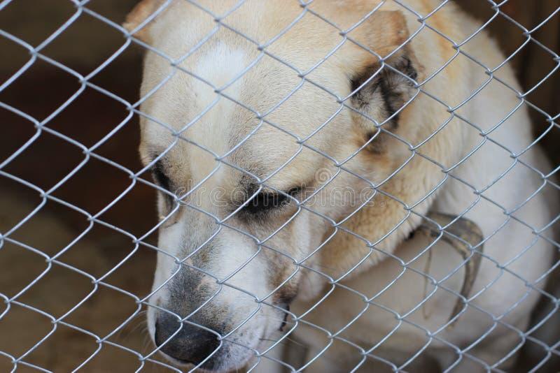 Centrale Aziatische Herder Dog (Alabai) stock foto's