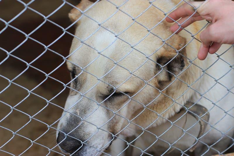 Centrale Aziatische Herder Dog (Alabai) royalty-vrije stock fotografie