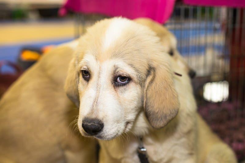 Centrale Aziatische Herder weinig puppy royalty-vrije stock fotografie