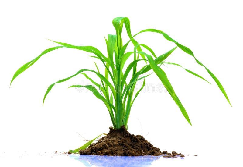 Centrale d'herbe verte photo stock