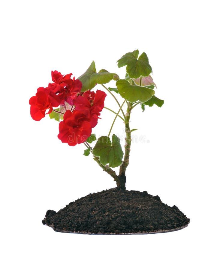 Centrale de floraison dans la saleté photographie stock