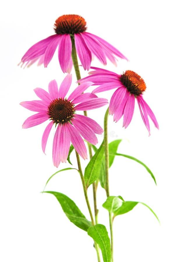 Centrale de purpurea d'Echinacea photographie stock