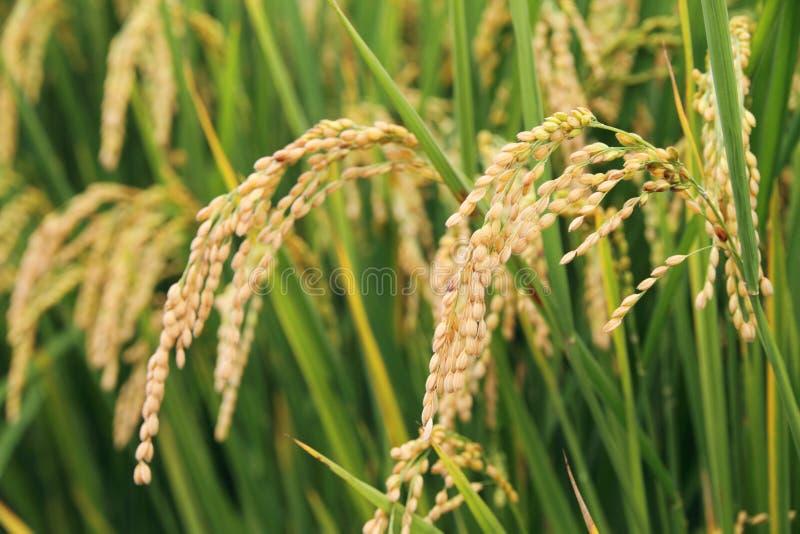 Centrale de riz photo stock