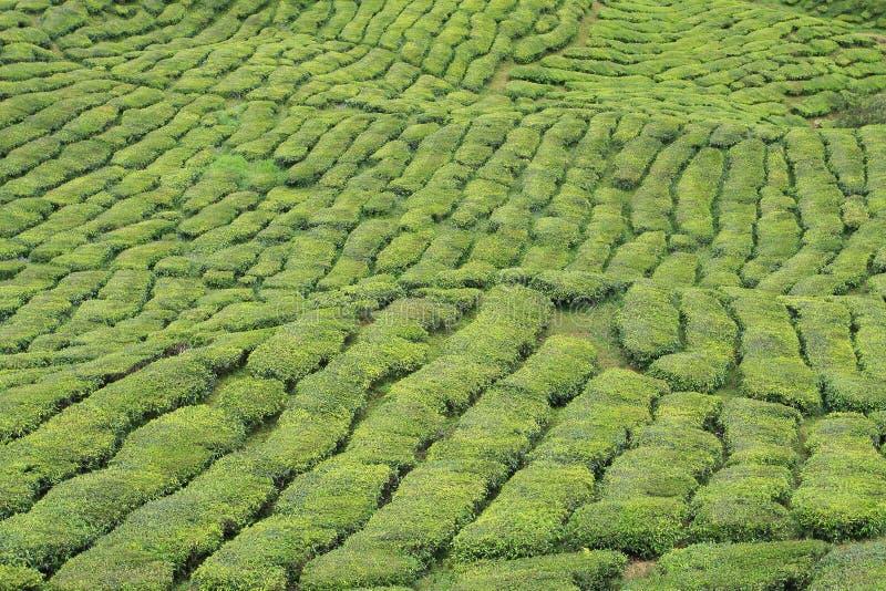 Centrale de thé vert photos libres de droits