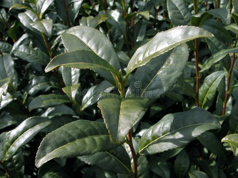 Centrale de thé vert image stock