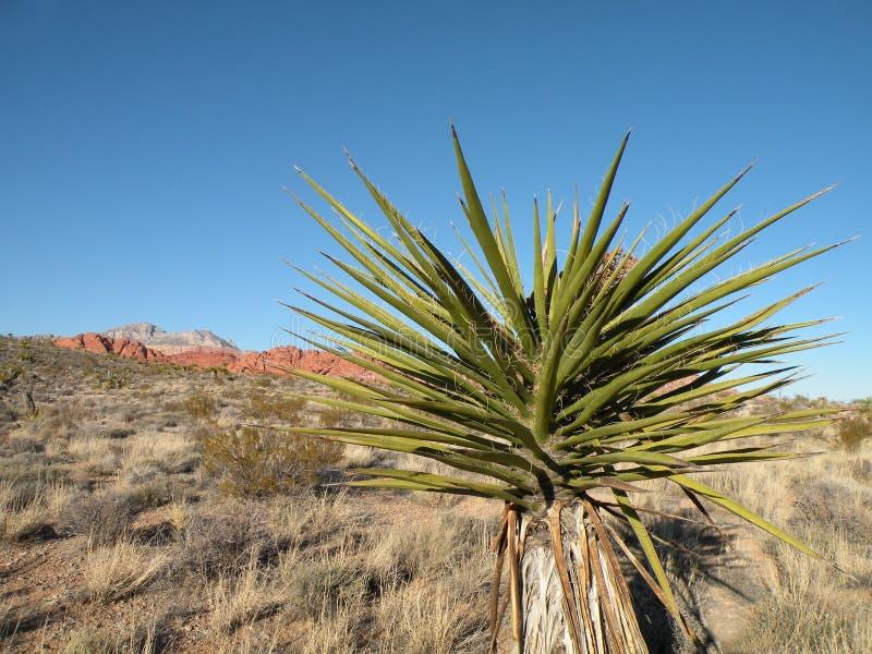 Centrale de yucca de désert photo stock