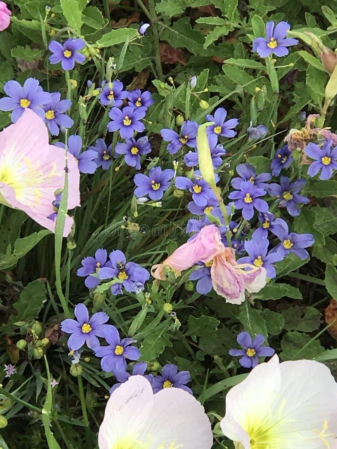 Centrale di Texas Wildflowers fotografia stock