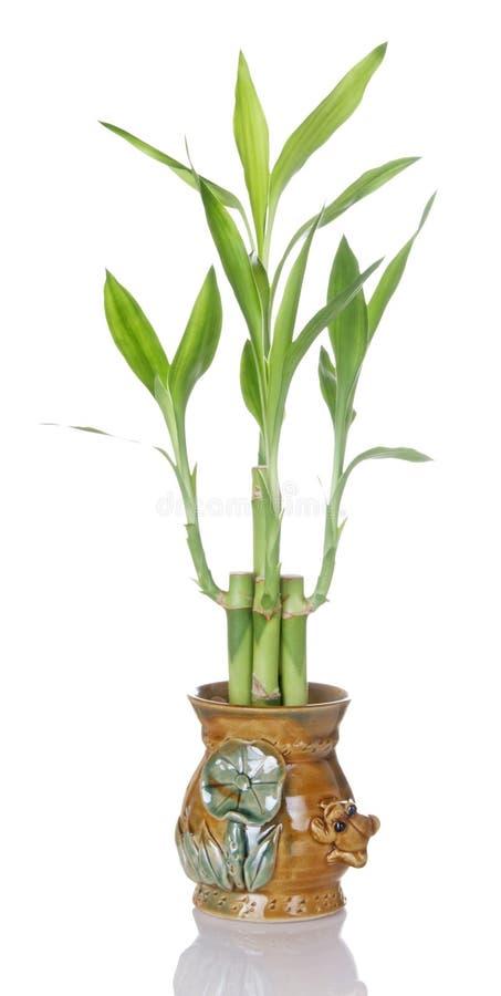 Centrale en bambou chanceuse dans le bac en céramique images libres de droits