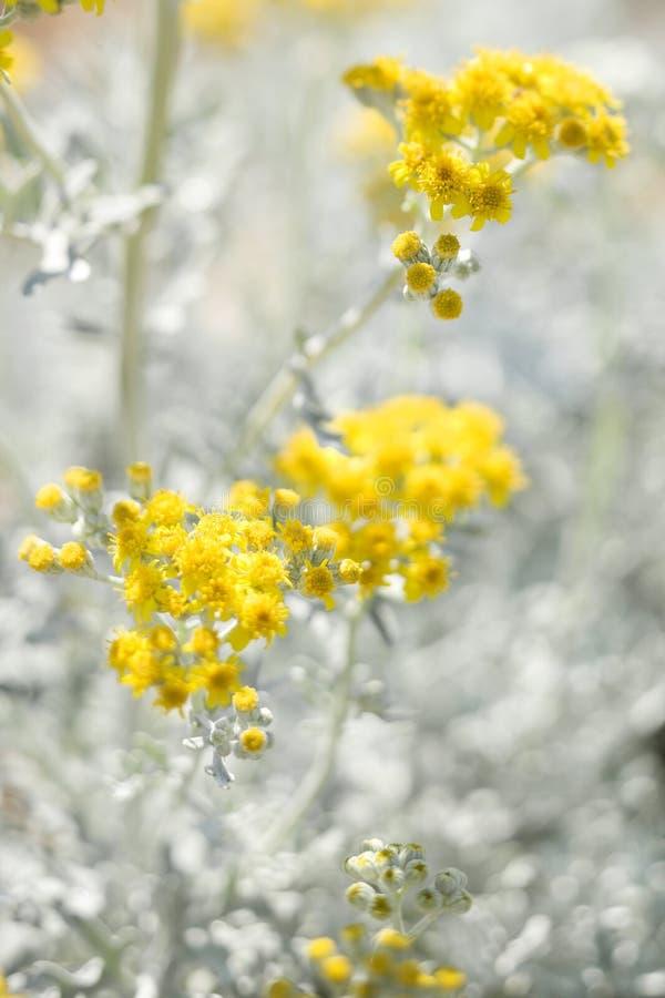Centrale fleurissante jaune. photo stock