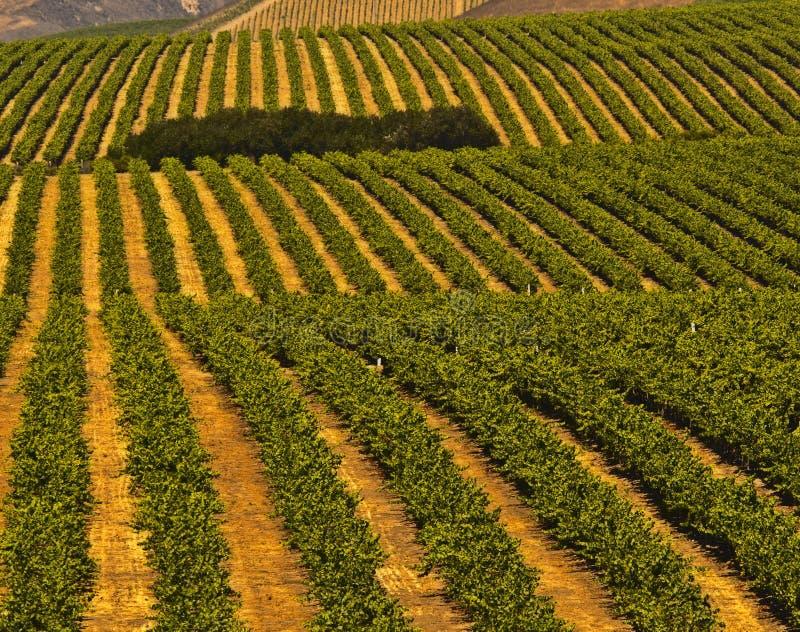 Centrale Kust, de Wijngaarden van Californië royalty-vrije stock afbeelding