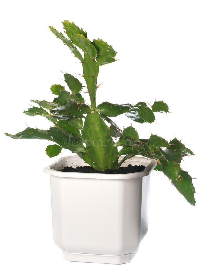 Centrale mise en pot de cactus d'isolement sur le blanc. images libres de droits