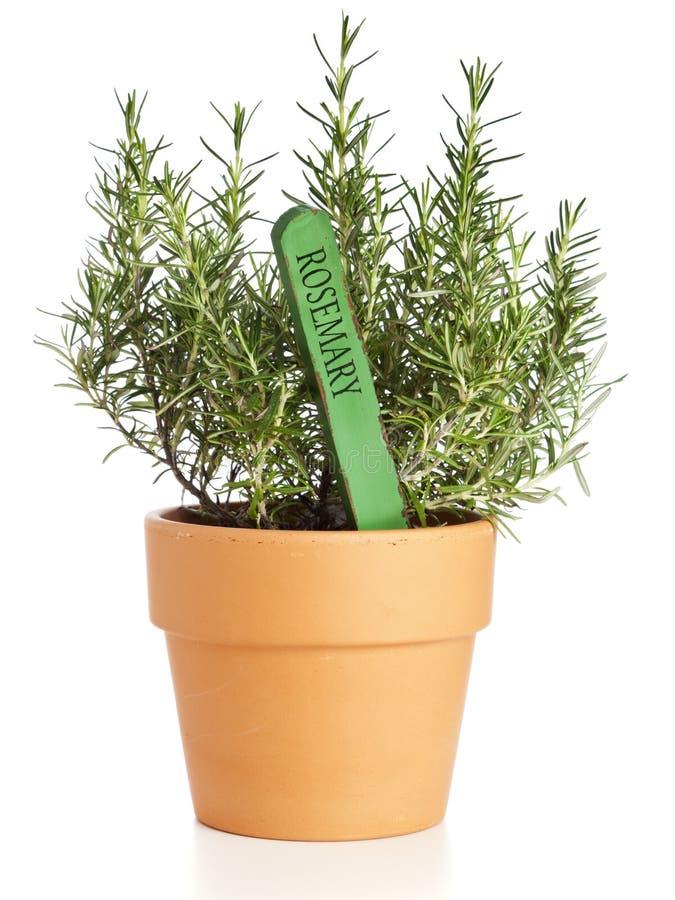 Centrale mise en pot de Rosemary avec l'étiquette nommée photographie stock libre de droits