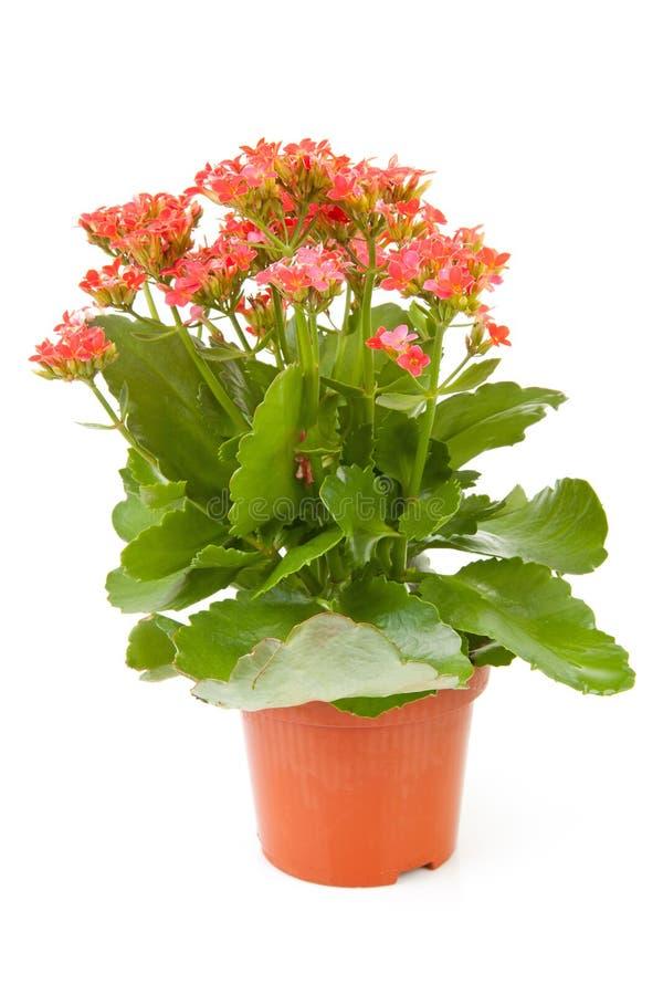 Centrale rose de fleur de kalanchoe images stock
