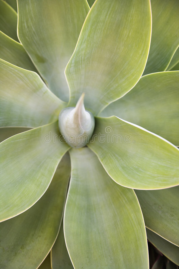 Centrale succulente. photo stock