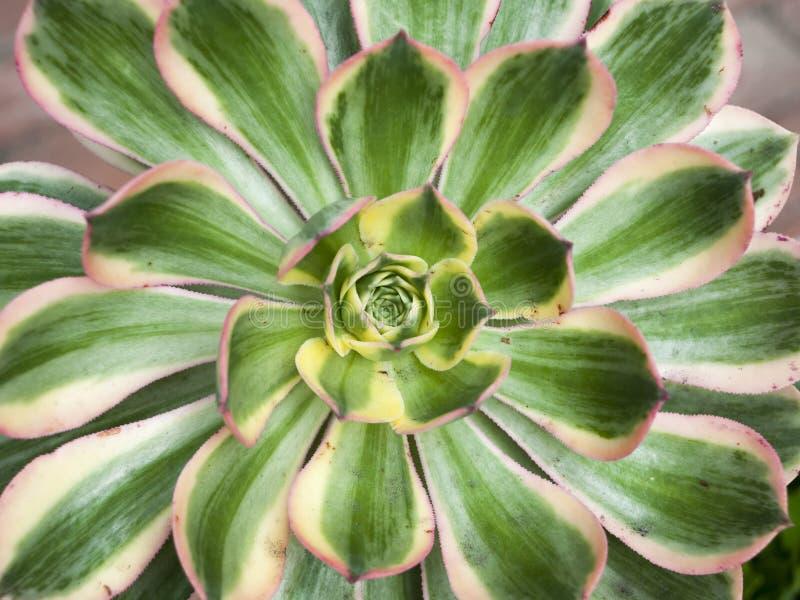 Centrale succulente d'agave photographie stock libre de droits