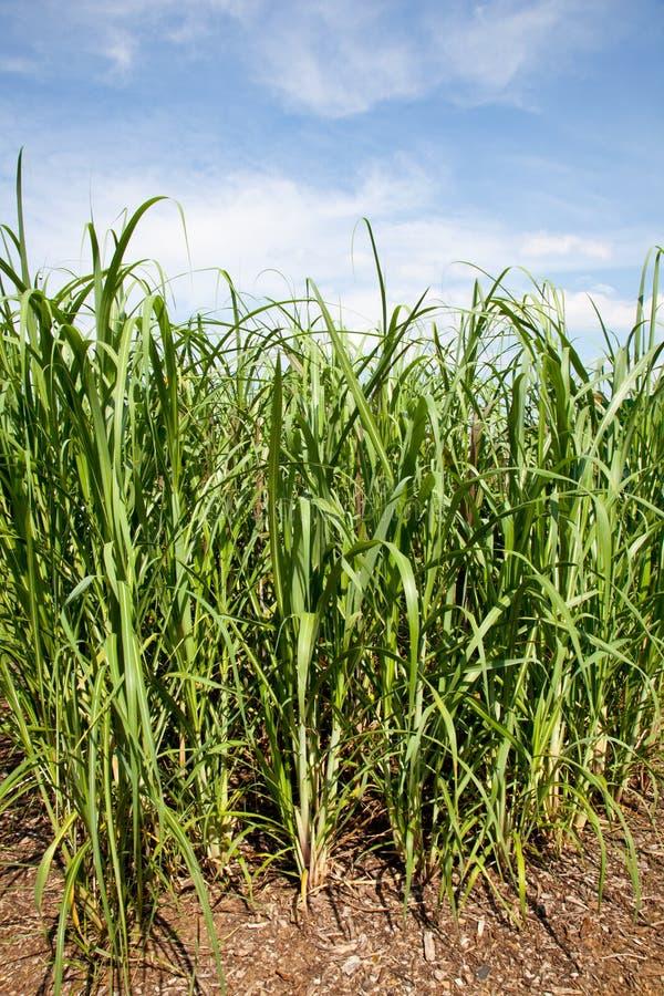 Centrales de canne à sucre étant élevées sur le combustible organique de ferme photographie stock libre de droits