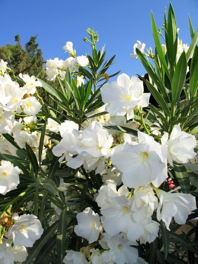 Centrales de floraison images libres de droits